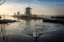 A white swan swimming in a stream on a foggy winter morning during sunrise in a landscape in the Netherlands with windmills and boats with hoar frost on them.