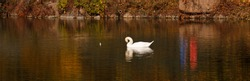 A white swan swims on a lake with yellow leaves on a beautiful autumn, sunny day. the bird is cleaning its feathers