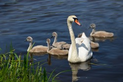 A white Swan with small swans swims in the lake among the water lilies. A brood of wild birds. The offspring of swans. Raw goslings with a goose.
