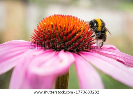 A white tailed bombus lucorum bumblebee  standing on the petals of a pink echinacea, coneflower, enjoying the nectar.