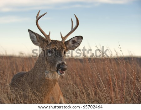A white-tailed buck ( Odocoileus virginianus) laying in the meadow in the Blue Ridge Mountains of Virginia, just off of Skyline Drive.