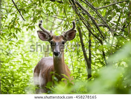 A white-tailed buck watches from the thick brush in the Delaware Water Gap National Recreation Area in Walpack, New Jersey.