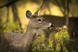 A white tailed deer doe standing alert in the woods that glow with autumn colors and morning sun.