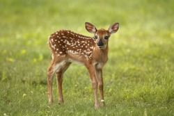 A white-tailed deer fawn standing in a meadow