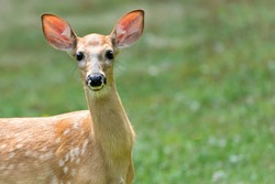 A White-Tailed Deer fawn standing in the grass looking at the camera. There is room for copy space. White-tailed deer are born from April to July and are often left alone while the mother feeds.