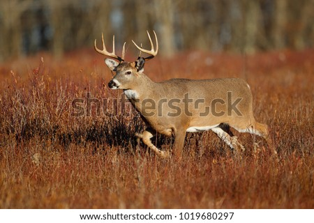 A white-tailed deer standing in a meadow #1019680297