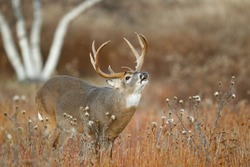 A white-tailed deer standing in a meadow lip curling