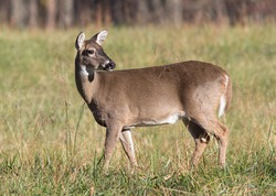 A white-tailed doe looking over her shoulder in a grassy field in Cades Cove, Smoky Mountain National Park, Tennessee, USA.  Taken in early morning light.