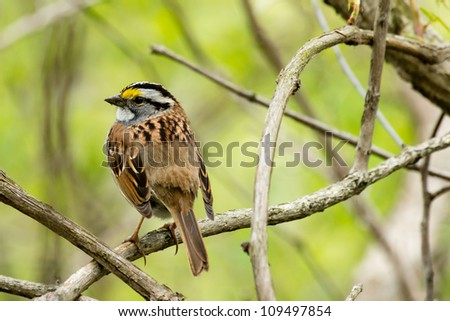 A white throated sparrow sites on a tree branch.