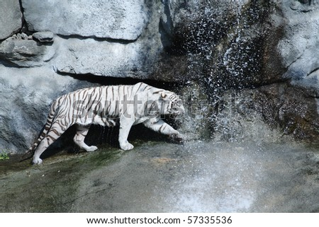 A white tiger exploring it's territory