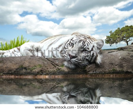 A White Tiger On A Rock By The Water #104688800