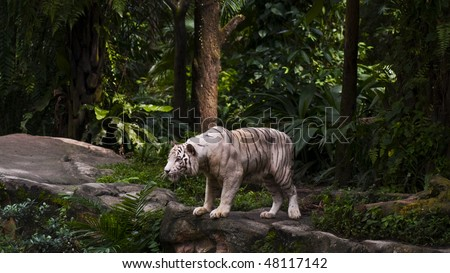 A white tiger on a rock with green jungle in the background