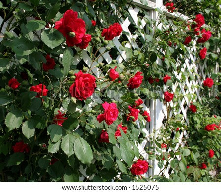 A white trellis supporting a red rose vine.