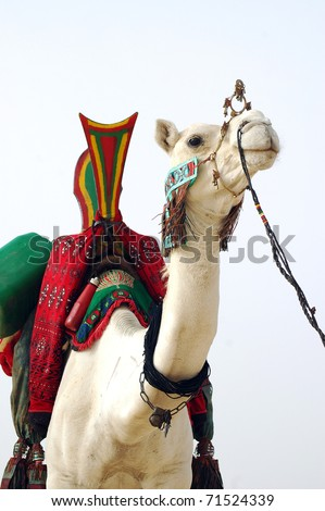 A white Tuareg nomad camel with saddle and rein facing forward