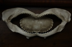 A white-washed crab shell in the bone jaws of a shark with sharp teeth lining both sides of the mouth against a background of dark wood background showing the concepts of fear, death and hunting.
