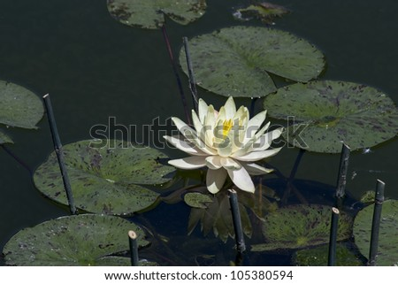 A white water lily on a pond.