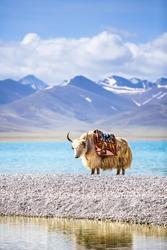 A white yak in the waterside. Namtso lake, Tibet,China.