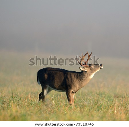 A whitetail buck lip curling during the rut on a foggy morning