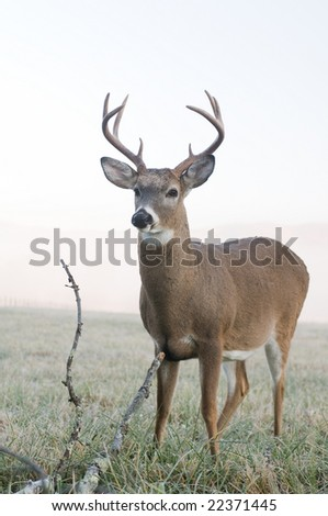 A whitetail buck standing in an open meadow in Tennessee on a foggy morning