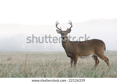 A whitetail buck stands at alert in an open meadow on a foggy morning in Tennessee