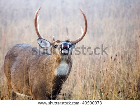 A whitetail deer buck doing a lip curl during the rutting season smelling for a female doe.