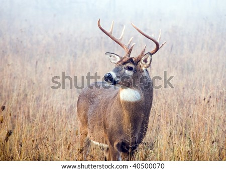 A whitetail deer buck in standing in a field with early morning fog.