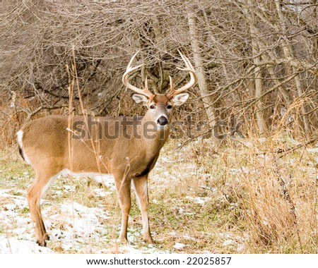 A whitetail deer buck standing in the snow.