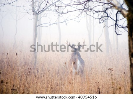 A whitetail deer buck walking into the woods in early morning fog.