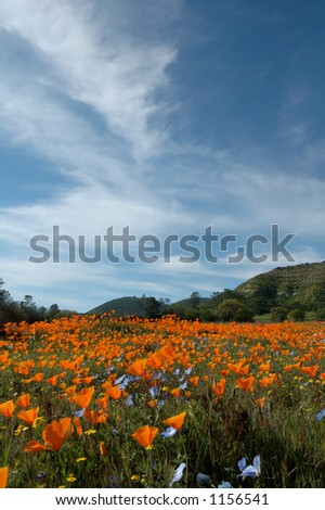 A wide angle view from a low perspective on a field of California Poppies, Baby Blue Eyes, and Goldfields.