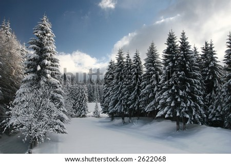 A wide clearing in a fir tree forest