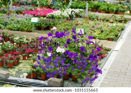 a wide display of various beautiful flowers growing in pot in a greenhouse on sale or nursery or plant shop #1031155663