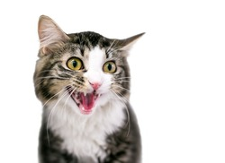 A wide eyed tabby shorthair cat with its mouth open in a hiss or meow