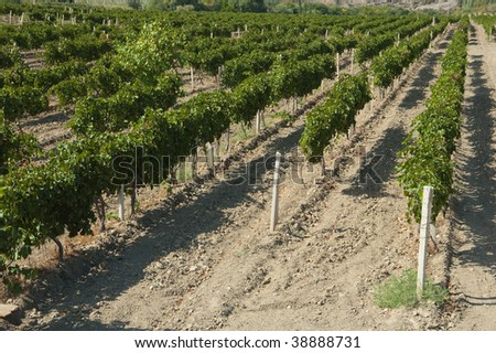 A wide panorama view of the beautiful rolling vineyards in Crimea