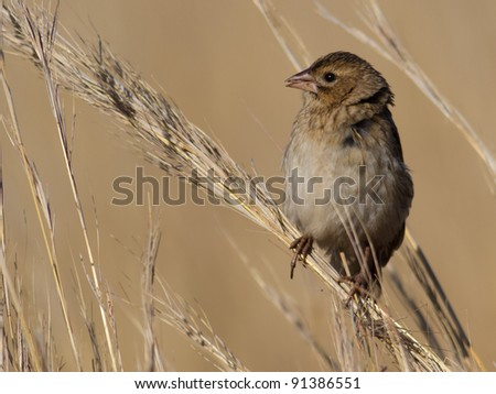 A widowbird female, Euplectes progne, perched in summer grassland.