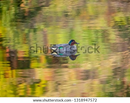 A wigeon duck swims in a fishing pond in a forest perserve in central Kanagawa Prefecture, Japan ストックフォト ©