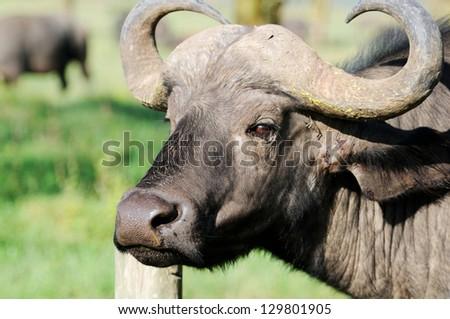 A WILD African buffalo portrait, Lake Nakuru, Kenya