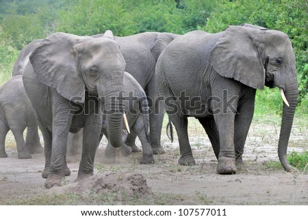 A WILD African Elephant family in Queen Elizabeth National Park in Uganda, Africa (note that one elephant is missing a tusk)
