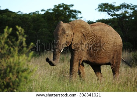 A wild African elephant walks across the savanna of South Africa in the afternoon light.
