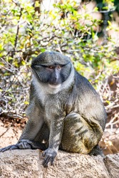 A wild Allen Swamp Monkey rests on a rock during a hot, sunny day