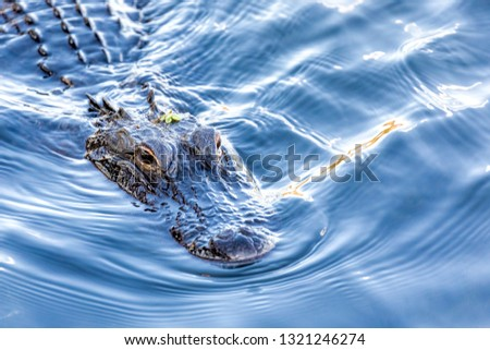 A wild, American Alligator (Alligator mississippiensis) swims toward camera in a central Florida pond. American and Chinese Alligators are the only surviving alligator species in the world.