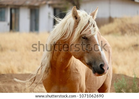 A wild American stallion mustang horse Palomino cross with tangled knotted mane in the high Sierra area of Nevada, roaming  in a rural residential area, likely part of the Virginia Ranges band/herd  #1071062690