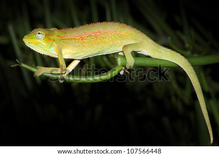 A WILD and extremely colourful Side-striped or Two-lined Chameleon in Uganda, Africa.  Species name is Trioceros bitaeniatus or Chamaeleo bilineatus. Isolated on black with plenty of space for text.