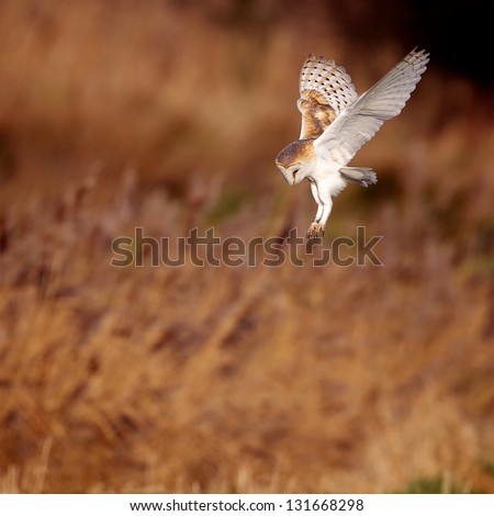 A wild barn owl about to strike