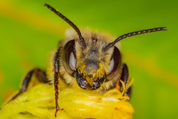 A wild bee in Quebec, Canada gathering pollen and nectar on yellow goldenrod flowers.