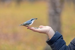 a wild bird pecks seeds from a human hand, take care of wintering birds, a nut fly sits on the palm, a sunflower seed in its beak