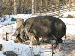 A wild boar at Skansen, the first open-air museum and zoo in Sweden.