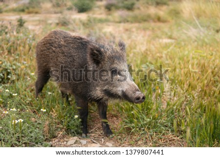 A wild boar or hog looking for food in the country side field at the sunset with unfocused background. Wild nature concept #1379807441