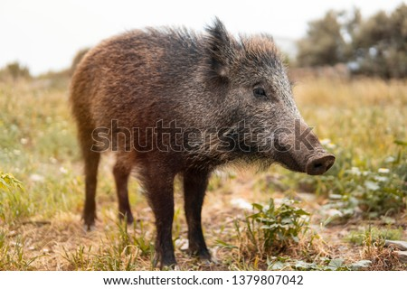 A wild boar or hog stands still in the country side field at the sunset with unfocused background. Wild nature concept #1379807042