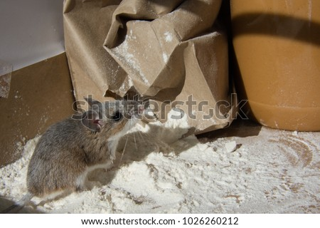 A wild brown house mouse, Mus musculus, covered with flour and standing in front of a chewed brown bag. The rodent is standing on a mound of flour with a jar of peanut butter in the kitchen cabinet. - Shutterstock ID 1026260212