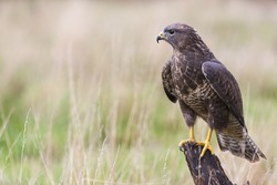 A wild buzzard sitting on an old tree branch in the countryside looking and hunting for prey. The Buzzard is a bird of prey in the Hawk and Eagle family.